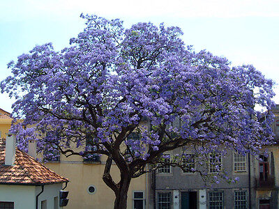 Paulownia Tomentosa- Princess Tree- 125+ Seeds- Blue Flowers Fast Growing