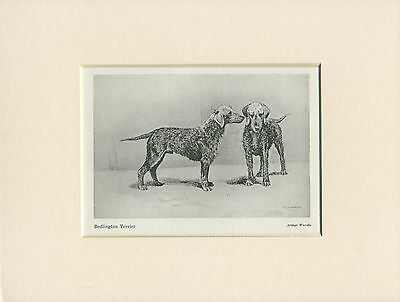 Bedlington Terrier Old Style Dogs Dog Print From 1948 Ready Mounted