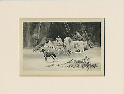 Maltese & English Toy Terrier Dogs 1894 Antique Dog Print Wardle Ready Mounted