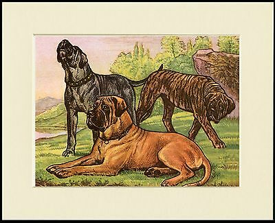 Mastiff Three Dogs Great Dog Print Mounted Ready To Frame