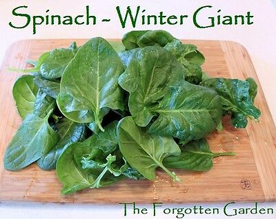 Spinach Winter Giant Seed 50 Seeds Heirloom Vegetable Garden Cold Hardy