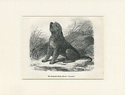 Otterhound Antique 1878 Named Dog Print Engraving Ready Mounted