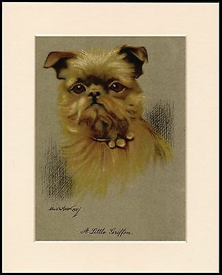 Brussels Griffon Head Study Charming Dog Print Mounted Ready To Frame