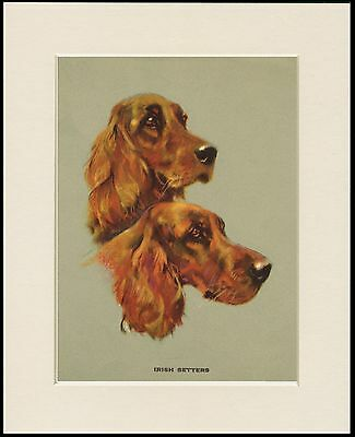 Irish Setter Dogs Head Study Lovely Dog Print Mounted Ready To Frame