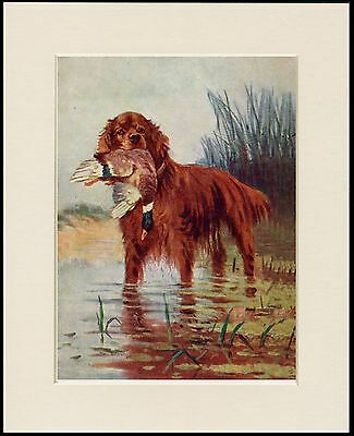 Irish Setter With Duck In Water Lovely Dog Print Mounted Ready To Frame