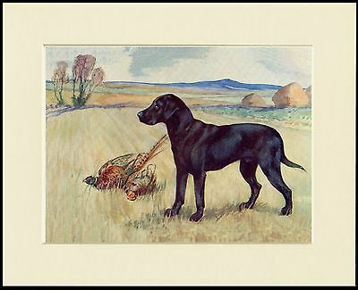 Labrador Retriever And Pheasant Great Dog Print Mounted Ready To Frame