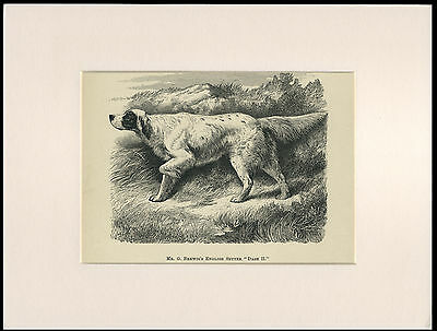English Setter Rare Old Named Antique Dog Print Engraving Ready Mounted