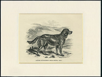 Irish Setter Rare Old Named 1873 Antique Dog Print Engraving Ready Mounted