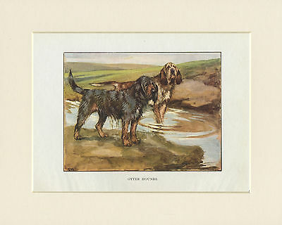 OTTERHOUND LOVELY 1905 ANTIQUE DOG PRINT by G. VERNON STOKES READY MOUNTED
