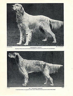 English Setter Named Dogs Old Original Dog Print Page From 1934