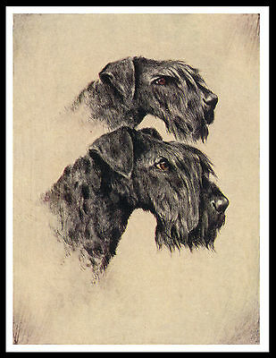 Kerry Blue Terrier Head Study Lovely Vintage Style Dog Print Poster