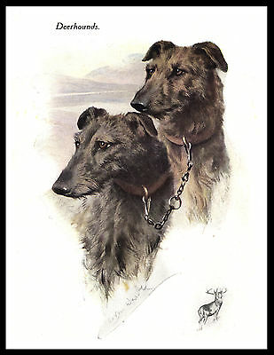 Scottish Deerhound Head Study Two Dogs Lovely Vintage Style Dog Print Poster