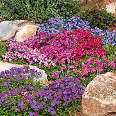 Aubrieta 'Cascade Mixed' Rock Cress - 200 Seeds - Hardy Perennial