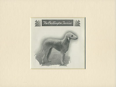 Bedlington Terrier Lovely Old Dog Print From 1931 Ready Mounted