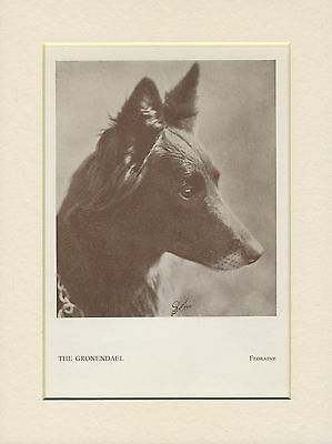 Belgian Shepherd Old Named Dog Print From 1934 Ready Mounted