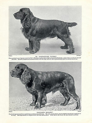 Field Spaniel Two Named Dogs Old Original Dog Print Page From 1934