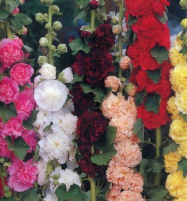 Hollyhock (Alcea Rosea) Chaters Double Mixed - 50 Seeds - Hardy Perennial