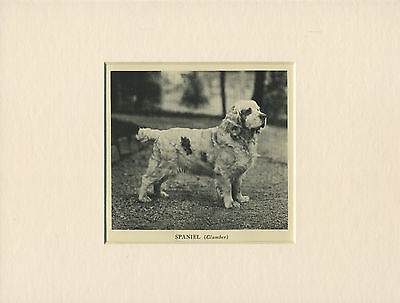 Clumber Spaniel Lovely Old 1935 Dog Print Mounted Ready To Frame