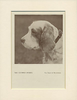 Clumber Spaniel Head Study Old 1930's Named Champion Dog Print Ready Mounted