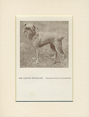 Brussels Griffon Standing Dog Old 1934 Named Dog Print Mounted Ready To Frame