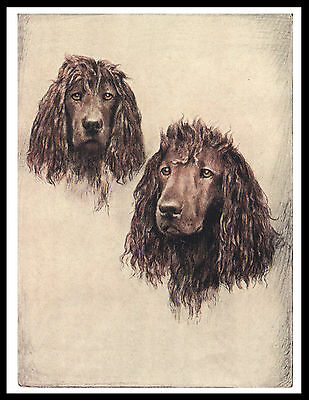 Irish Water Spaniel Two Dogs Head Study Great Vintage Style Dog Print Poster