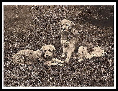 Bearded Collie Sheepdogs Great Vintage Style Dog Print Poster