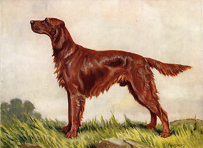Irish Setter Old Dog Colour Art Print Page From 1934 By F. T. Daws