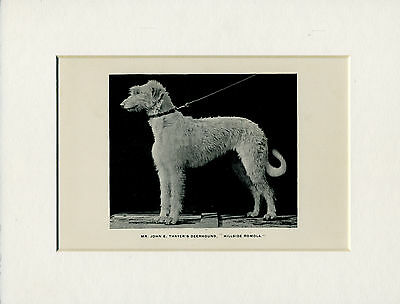 Scottish Deerhound Old Antique Named Dog Print From 1893 Ready Mounted