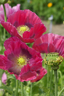 Papaver 'Hens & Chickens' - 800 Seeds - Hardy Annual Poppy