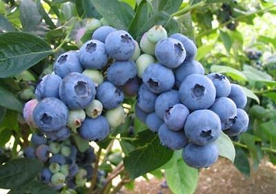 Blueberry Bluegold fruit bush reliable and heavy cropping mid season variety 9cm