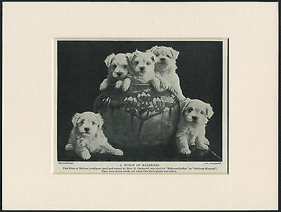 MALTESE PUPPIES CHARMING OLD 1930's DOG PRINT MOUNTED READY TO FRAME