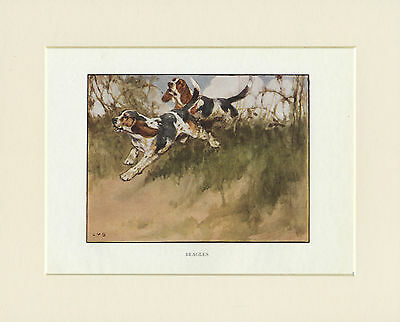 BEAGLE HOUNDS LOVELY 1905 ANTIQUE DOG PRINT by VERNON STOKES READY MOUNTED