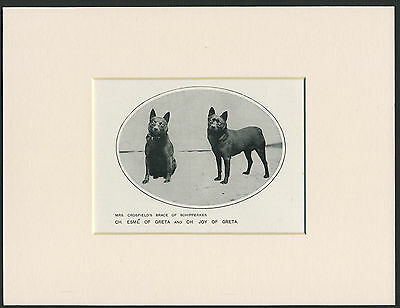 Schipperke Named Champion Dogs Old Antique 1912 Dog Print Mounted Ready To Frame