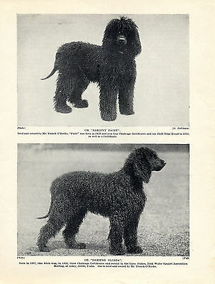 Irish Water Spaniel Two 1930'S Named Champion Dogs Old Original Dog Print