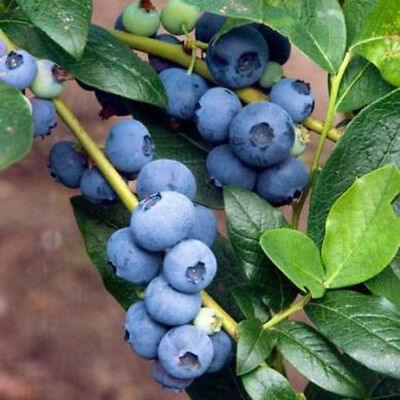 Blueberry Patriot large berries heavy cropping early season variety 9cm pot