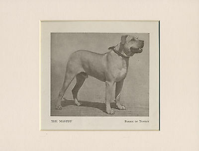 Mastiff Named Dog Old 1930's Print Mounted Ready To Frame