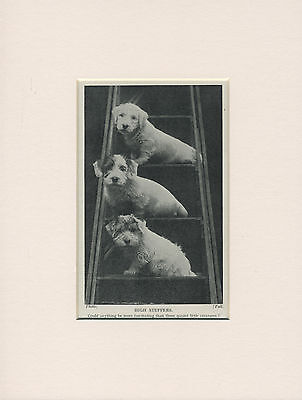 Sealyham Terrier Three Pups On Steps Old 1930's Print Mounted Ready To Frame