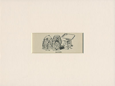 MALTESE LOVELY LITTLE ANTIQUE DOG PRINT FROM 1912 by WARDLE READY MOUNTED