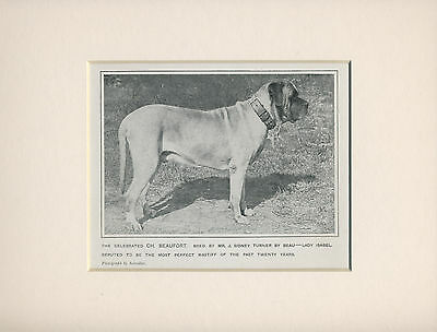 Mastiff Named Champion Dog On Old Antique 1912 Print Mounted Ready To Frame