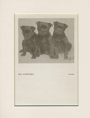 Schipperke Three Cute Puppies Old 1930's Print Mounted Ready To Frame