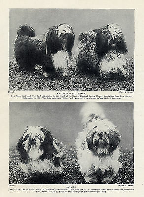 Lhasa Apso Four Named Dogs Early Examples Of The Breed Nice Old 1930's Dog Print