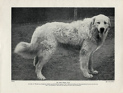 Great Pyrenees Pyrenean Mountain Dog Named Dog Old 1934 Print