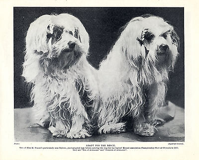 Maltese Two Little Named Dogs Lovely Old Original Dog Print From 1934