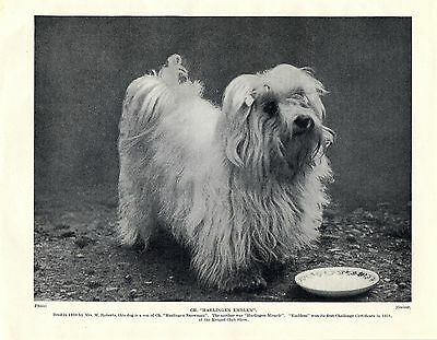 Maltese Named Champion Dog Lovely Old Original Dog Print From 1934