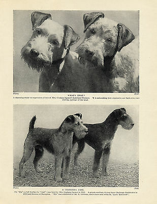 Lakeland Terrier Named Champion Dogs Old Original Dog Print From 1934