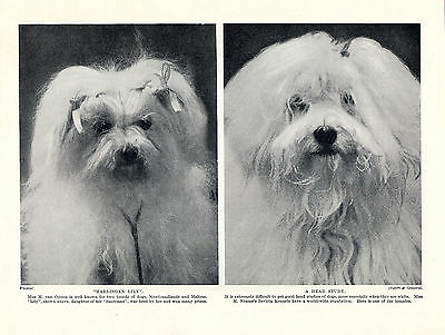 Maltese Two Little Dogs Head Study Lovely Old Original Dog Print From 1934