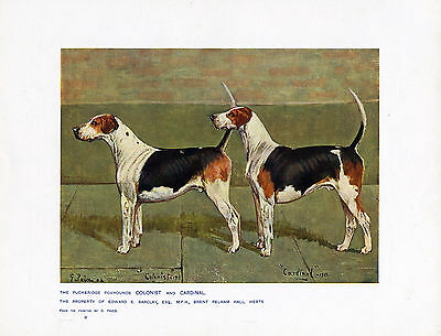 Foxhound Puckridge Named Dogs Antique Dog Art Print From 1907