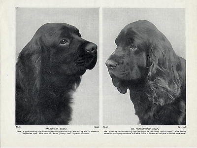 Sussex Spaniel Head Studies Two Named Dogs Old 1934 Dog Print