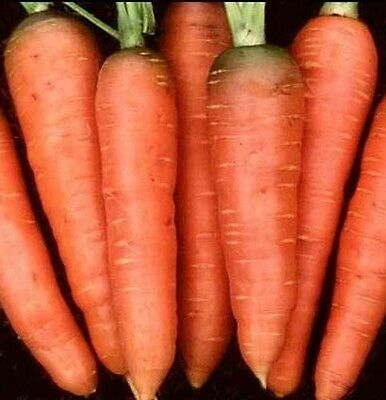 Carrot Chantenay Red Core Great Heirloom Vegetable 4,000 Seeds