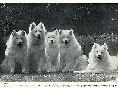 """Samoyed Five Named Champion Bitches From The """"artic"""" Kennels Old 1934 Dog Print"""